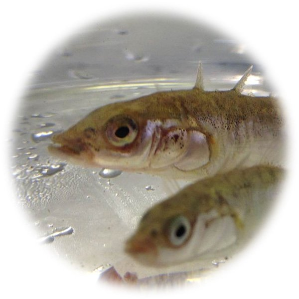 A picture of fish which are useful experimental models in life science research